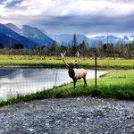 Elk @ Alaska Wildlife Conservation Center