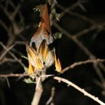 A bat viewed on our night game drive!
