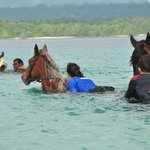 Swimming the horses across the bay
