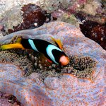 Clown fish at Ratua Island