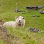 An inquisitive sheep.