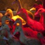 Ducklings keeping warm