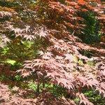 orto botanico - acero giapponese 3