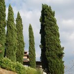 Cypresses .....