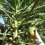 Picking a papaya in the garden!
