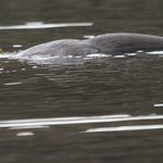 Otters galore on the Isle of Mull