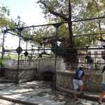 Hippocrates tree