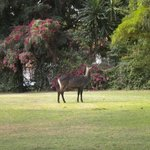 Water buck on the lawn.