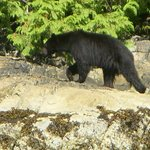 The wonderful black bear!
