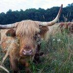 Wyebrook Beef cow