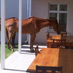 Horses having lunch on the stoep