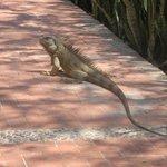 Me encanta encontrame  iguanas en el camino