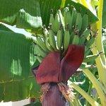 banana tree in grounds