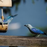 Coasthanger's  blue tanagers