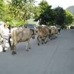 Sur le parking, la descente des alpages des vaches du voisin !