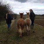 Walking with Alpacas