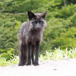 Silver Tip Fox seen near Sea Breeze
