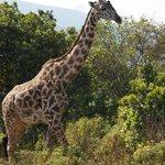 Giraffe in Arusha National Park