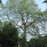 Parc Josaphat - albero centenario