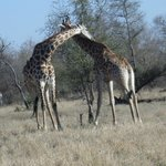 Giraffes necking with each other