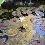 Lily pond with fish