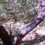 Manzanita trunk