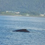 Humpback whale-I didn't have great timing!