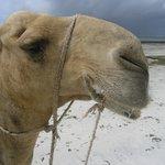 Camel rides around the corner