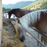Well kept Haflinger horses