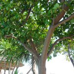 Lime trees to sunbathe under next to the pool