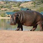 Male hippo wanting to steal the elephant's dinner