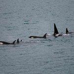Pod of Orcas alongside our ship