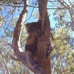 koala - sin zoom!