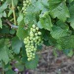 Nice fruit on the vines.