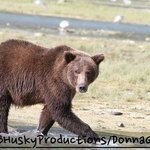 Coastal Brown bear we saw in Geographic Bay