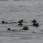 Sea Otters are everywhere in Kyuquot!