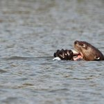 Giant River Otter on Lake Sandoval