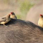 Oxpeckers having a chat over a buffalo