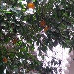 De vrais orangers dans le patio