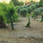 More olive trees...