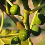 Giovanni's Figs