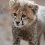 Curious Cheetah cubs - too cute!