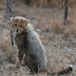 An amazing experience to be on foot with wild cheetahs