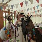 Llamas make a wedding!