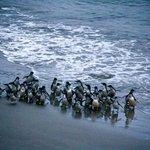 Little Blue Penguins return to Pilot's Beach after dark