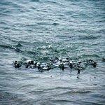 """""""Raft"""" of Little Blue Penguins swims toward shore"""