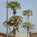 Papaya (pawpaw) tree, Larabanga