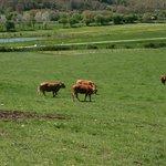pascolo delle nostre mucche e lago pesca sportiva