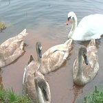 One of the 2 Mute Swan families on the canal