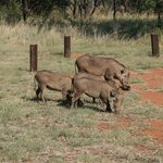 A family of warthogs in the campsite